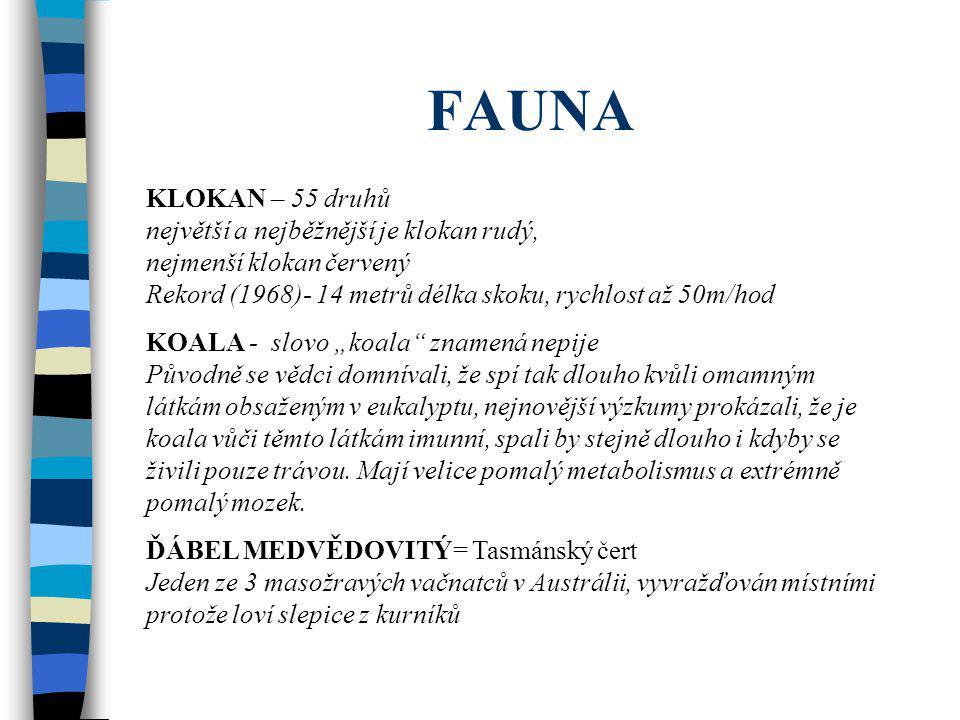 FAUNA KLOKAN – 55 druhů největší a nejběžnější je klokan rudý, nejmenší klokan červený Rekord (1968)- 14 metrů délka skoku, rychlost až 50m/hod KOALA