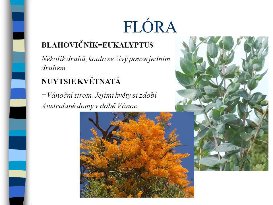 FLÓRA BLAHOVIČNÍK=EUKALYPTUS Několik druhů, koala se živý pouze jedním druhem NUYTSIE KVĚTNATÁ =Vánoční strom. Jejími květy si zdobí Australané domy v
