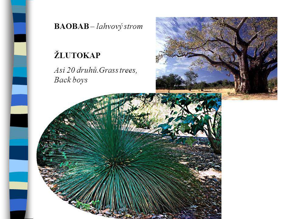 BAOBAB – lahvový strom ŽLUTOKAP Asi 20 druhů.Grass trees, Back boys