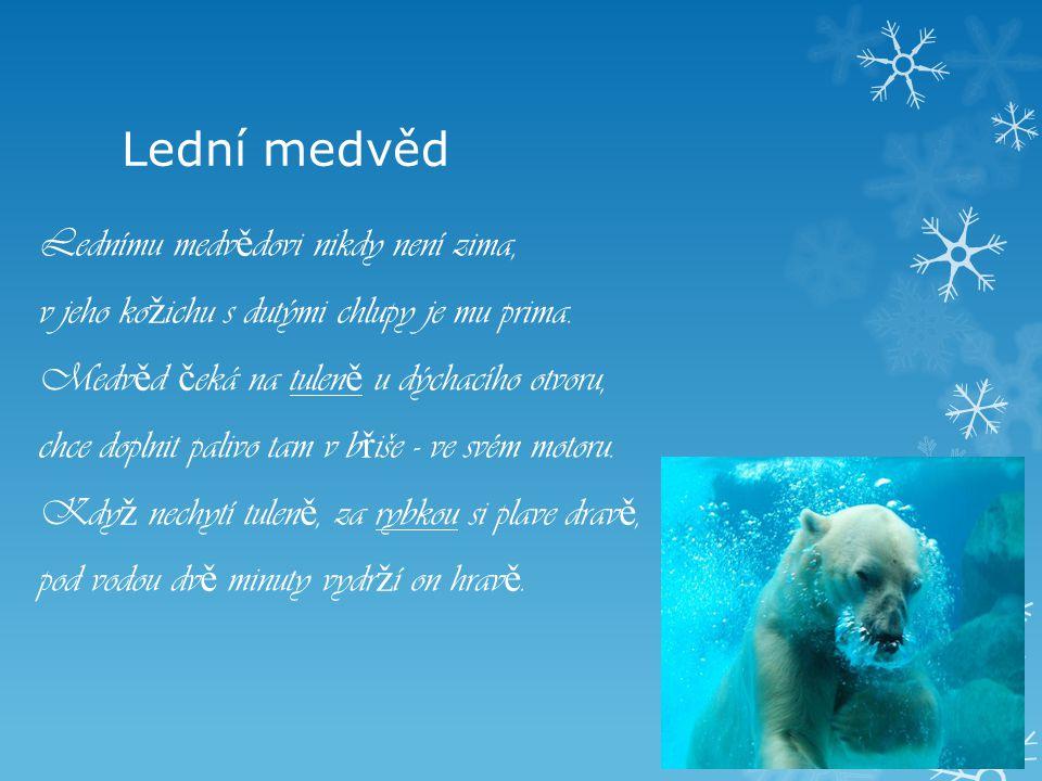Lední medvěd Lednímu medv ě dovi nikdy není zima, v jeho ko ž ichu s dutými chlupy je mu prima. Medv ě d č eká na tulen ě u dýchacího otvoru, chce dop