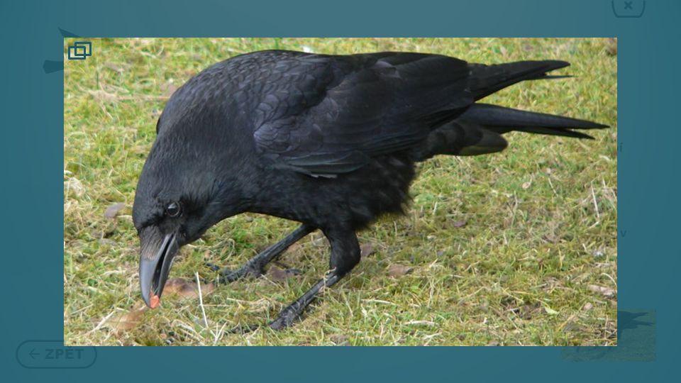 VRÁNA  ZPĚT × Vrána je český název některých pěvců z rodu krkavec Ačkoli se v češtině používá jako název rodový, představuje podrod Corone.
