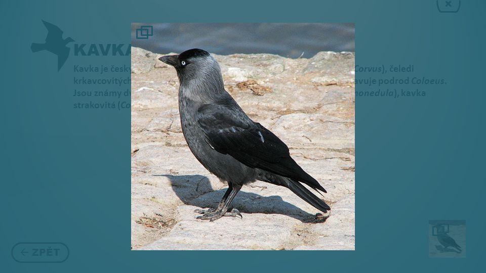 KAVKA  ZPĚT × Kavka je český název některých ptáků z řádu pěvců z rodu krkavec (Corvus), čeledi krkavcovitých Ačkoli se v češtině používá jako název rodový, představuje podrod Coloeus.