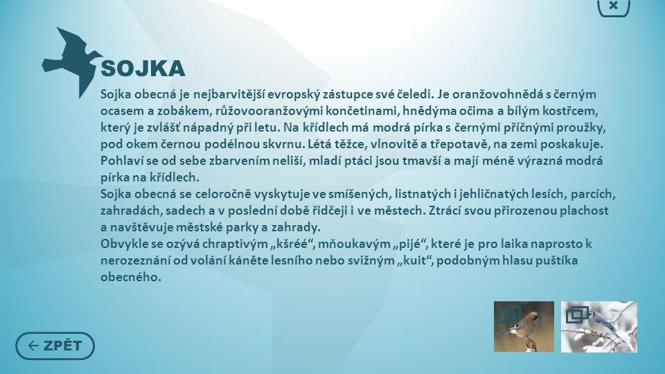 SOJKA  ZPĚT × Sojka obecná je nejbarvitější evropský zástupce své čeledi.