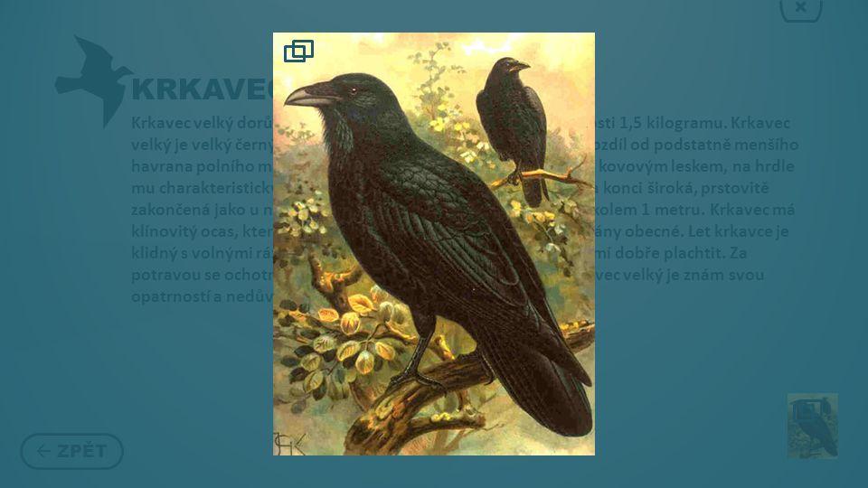 KRKAVEC  ZPĚT × Krkavec velký dorůstá velikosti kolem 50 centimetrů a hmotnosti 1,5 kilogramu.