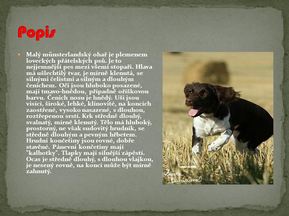 Malý münsterlandský ohař je plemenem loveckých přátelských psů.