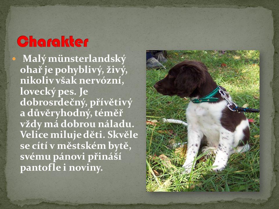 Malý münsterlandský ohař je pohyblivý, živý, nikoliv však nervózní, lovecký pes.