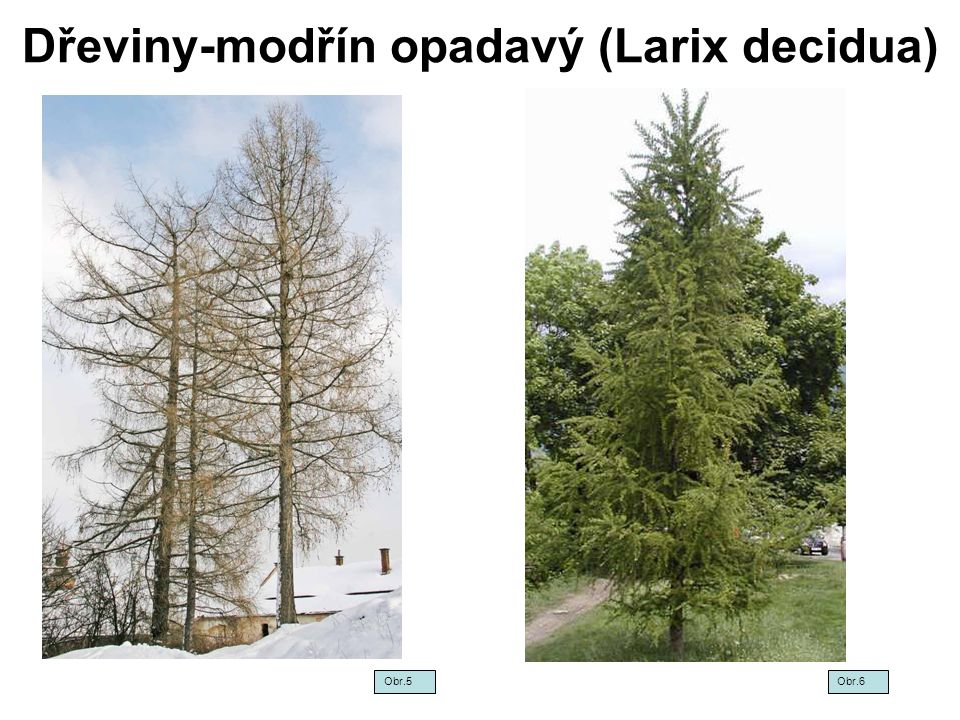 Dřeviny-modřín opadavý (Larix decidua) Obr. 7Obr.8