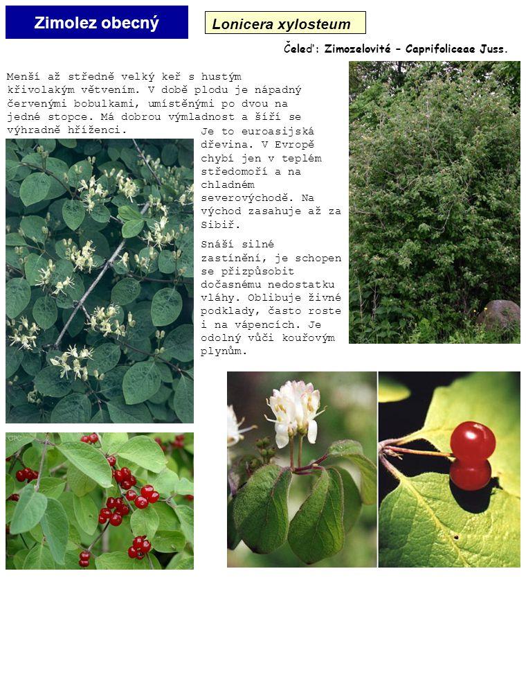 Zimolez obecný Lonicera xylosteum Čeleď: Zimozelovité – Caprifoliceae Juss. Je to euroasijská dřevina. V Evropě chybí jen v teplém středomoří a na chl