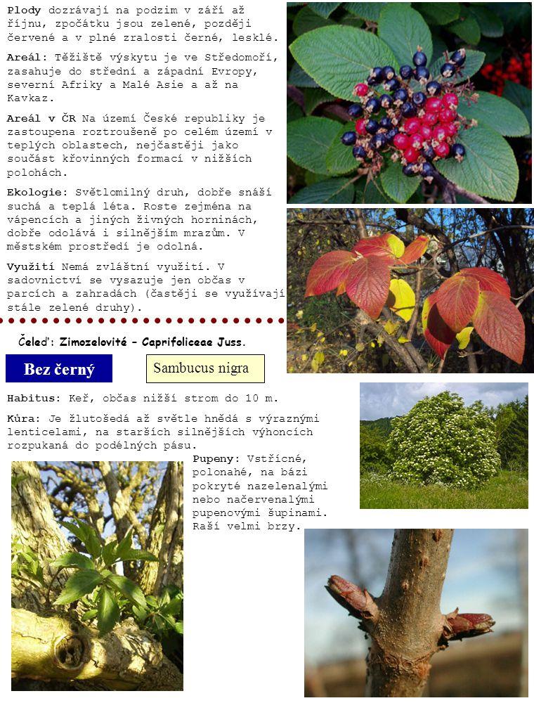Bez černý Sambucus nigra Plody dozrávají na podzim v září až říjnu, zpočátku jsou zelené, později červené a v plné zralosti černé, lesklé. Areál: Těži