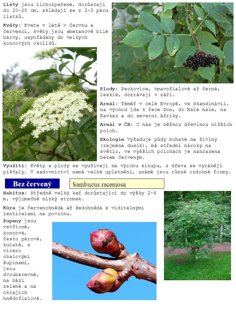 Bez červený Sambucus racemosa Listy jsou lichozpeřené, dorůstají do 20-25 cm, skládají se z 2-3 páru lístků. Květy: Kvete v létě v červnu a červenci,