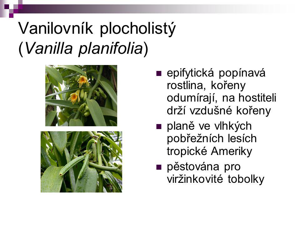 Vanilovník plocholistý (Vanilla planifolia) epifytická popínavá rostlina, kořeny odumírají, na hostiteli drží vzdušné kořeny planě ve vlhkých pobřežní