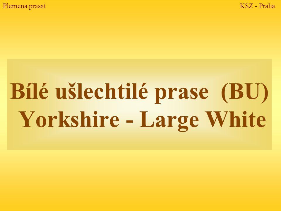 Bílé ušlechtilé prase (BU) Yorkshire - Large White Plemena prasat KSZ - Praha