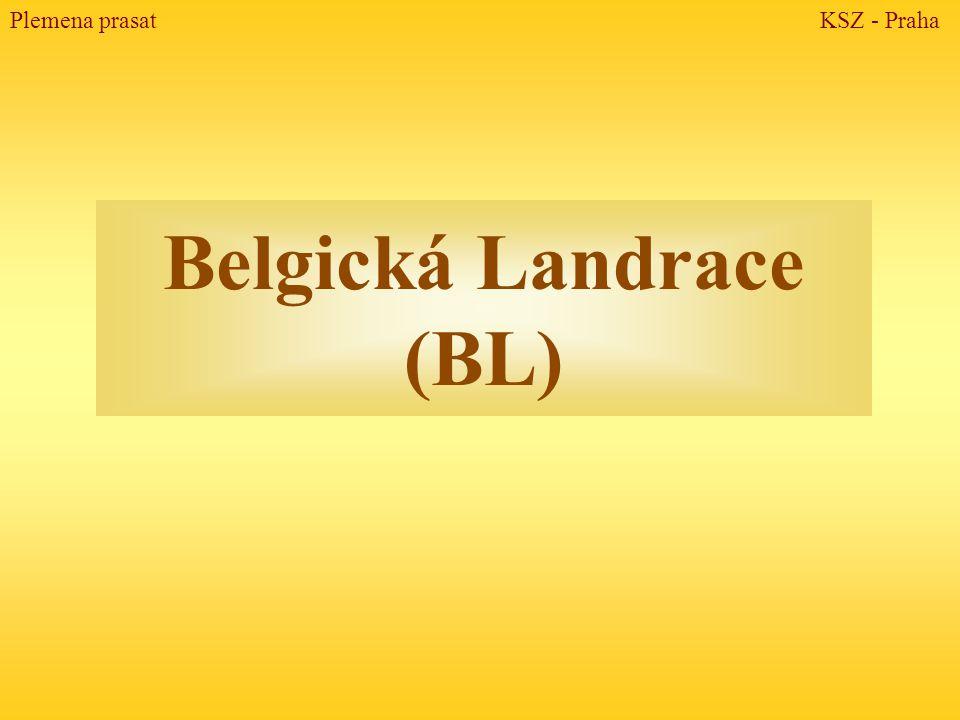 Belgická Landrace (BL) Plemena prasat KSZ - Praha