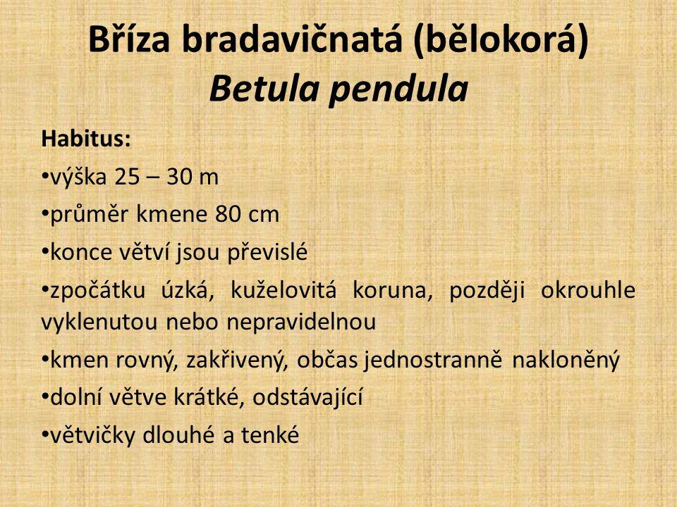 Bříza bradavičnatá (bělokorá) Betula pendula Habitus: výška 25 – 30 m průměr kmene 80 cm konce větví jsou převislé zpočátku úzká, kuželovitá koruna, později okrouhle vyklenutou nebo nepravidelnou kmen rovný, zakřivený, občas jednostranně nakloněný dolní větve krátké, odstávající větvičky dlouhé a tenké