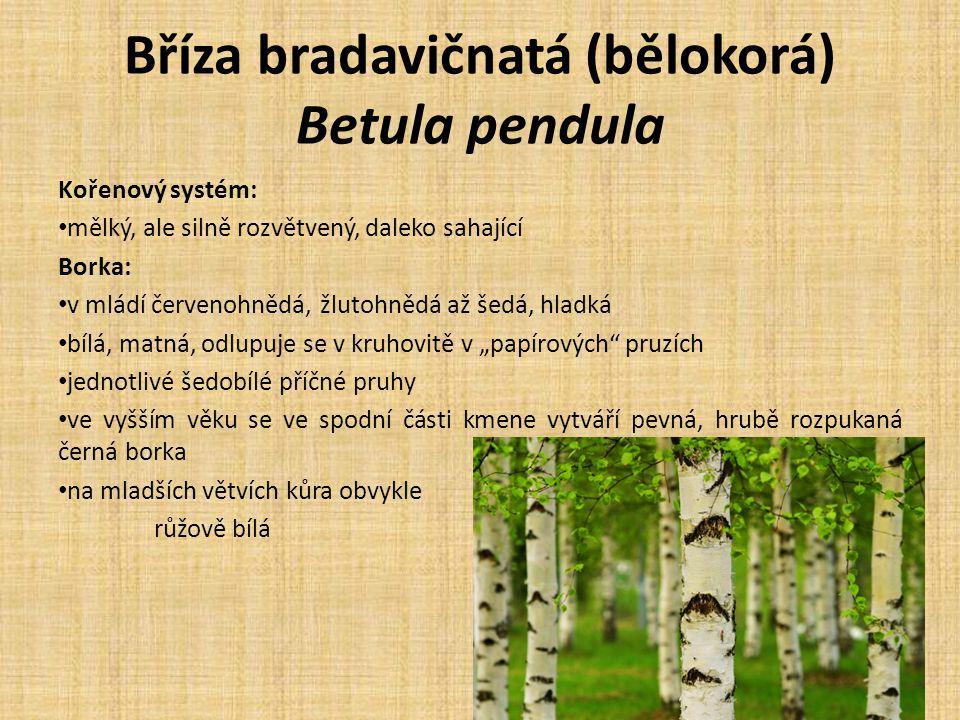 """Bříza bradavičnatá (bělokorá) Betula pendula Kořenový systém: mělký, ale silně rozvětvený, daleko sahající Borka: v mládí červenohnědá, žlutohnědá až šedá, hladká bílá, matná, odlupuje se v kruhovitě v """"papírových pruzích jednotlivé šedobílé příčné pruhy ve vyšším věku se ve spodní části kmene vytváří pevná, hrubě rozpukaná černá borka na mladších větvích kůra obvykle růžově bílá"""