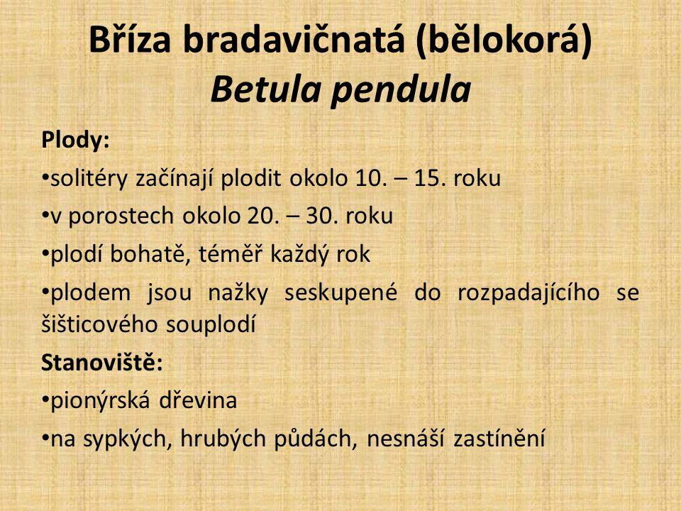 Bříza bradavičnatá (bělokorá) Betula pendula Plody: solitéry začínají plodit okolo 10.