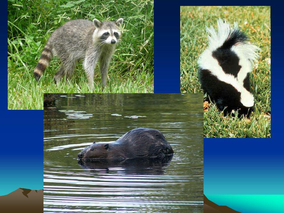 Mírný pás – stepi, prérie Centrální část S Ameriky Málo srážek Travnatá oblast Dnes obilnice Výskyt tornád Fauna – bizon, vidloroh, kojot, psoun