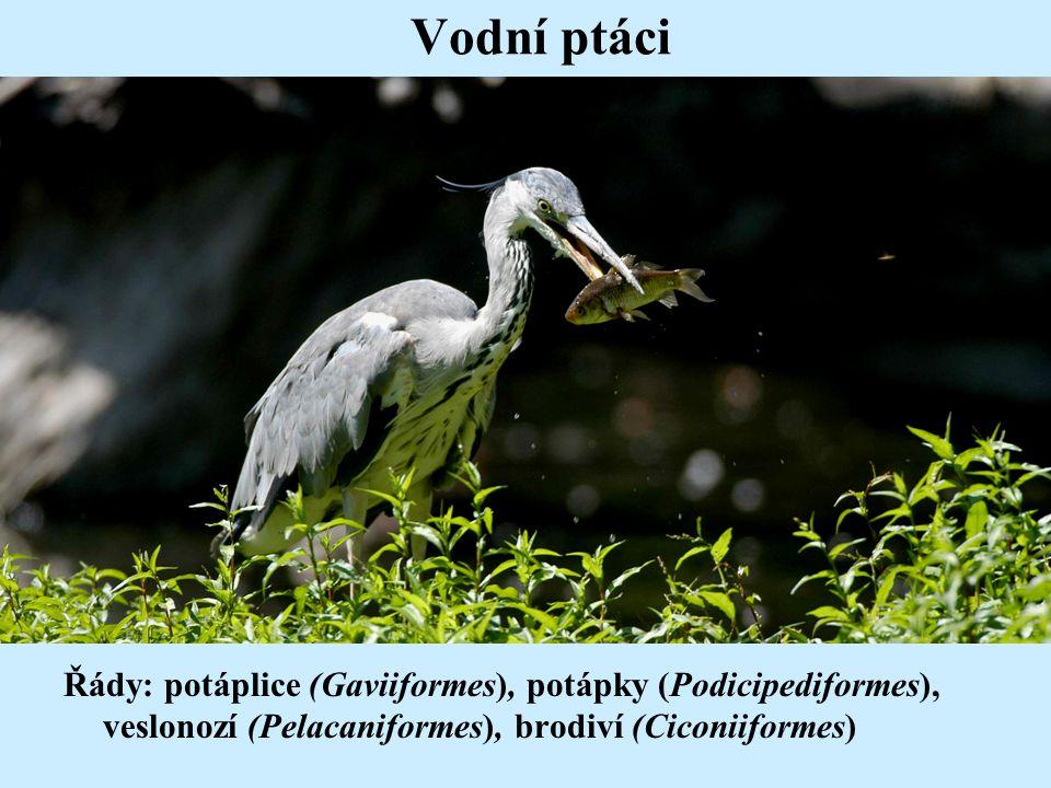 Vodní ptáci Řády: potáplice (Gaviiformes), potápky (Podicipediformes), veslonozí (Pelacaniformes), brodiví (Ciconiiformes)