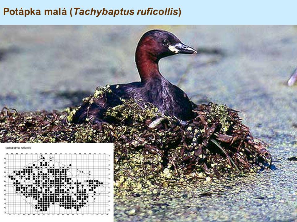 Potápka malá (Tachybaptus ruficollis)