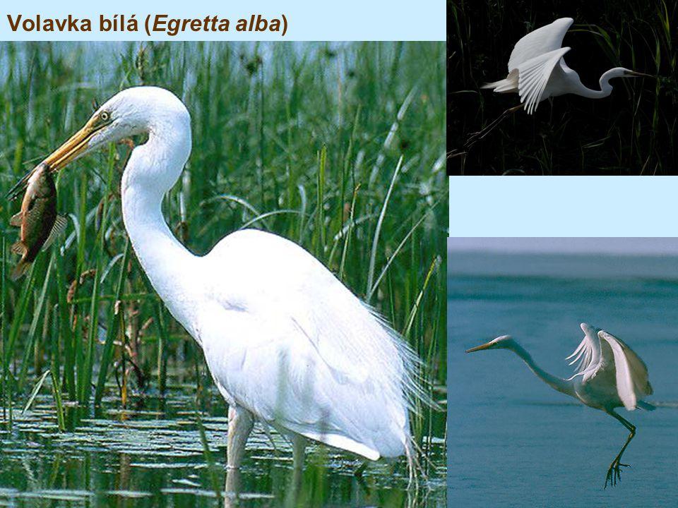 Volavka bílá (Egretta alba)