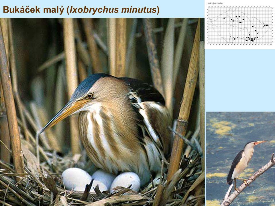 Bukáček malý (Ixobrychus minutus)