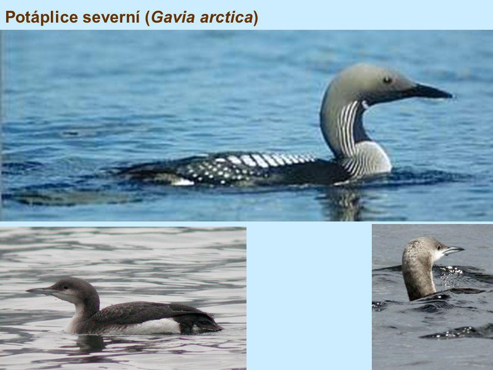 Potáplice severní (Gavia arctica)