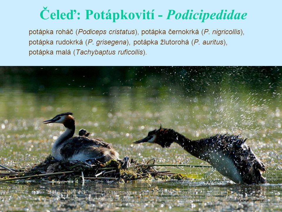 Čeleď: Potápkovití - Podicipedidae potápka roháč (Podiceps cristatus), potápka černokrká (P.