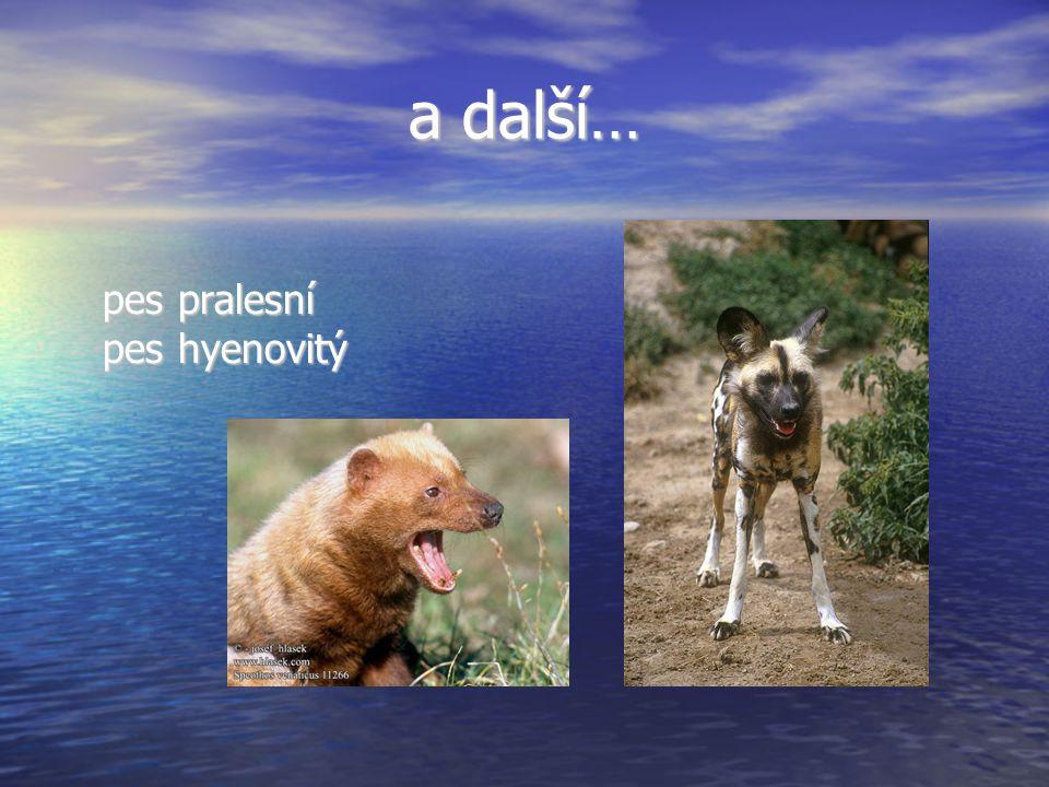 a další… pes pralesní pes hyenovitý pes pralesní pes hyenovitý
