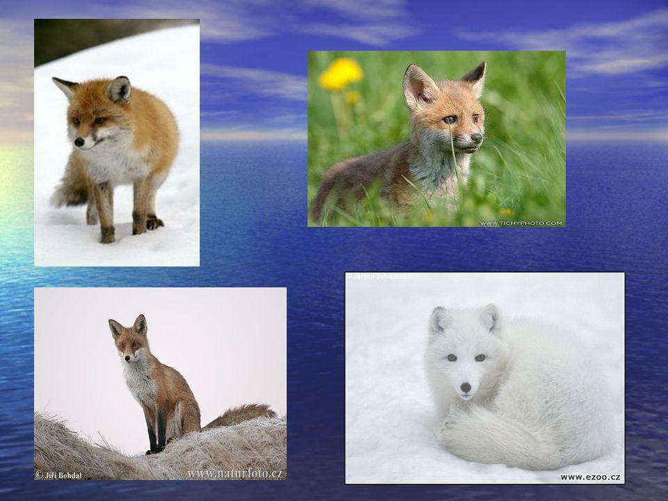 Pes dingo Někdy chápán jako poddruh vlka obecného.
