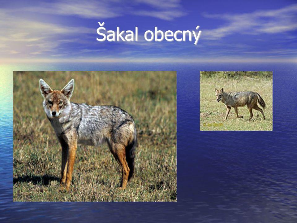 Vlk eurasijský Jeden z poddruhů vlka obecného.Jeden z poddruhů vlka obecného.