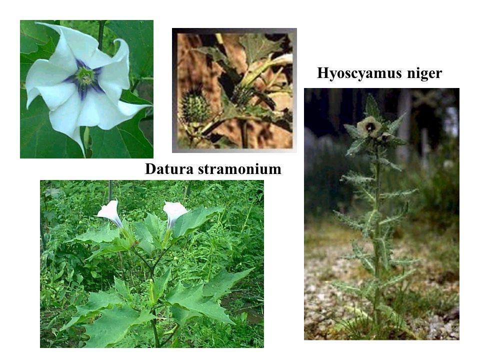 Datura stramonium Hyoscyamus niger