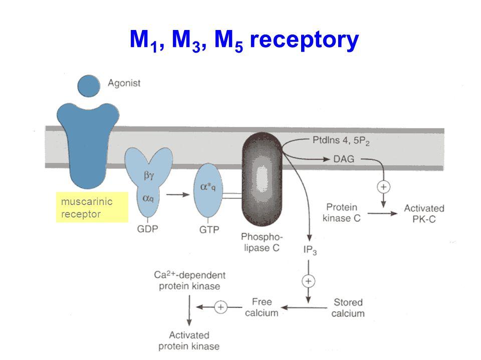 M 1, M 3, M 5 receptory muscarinic receptor