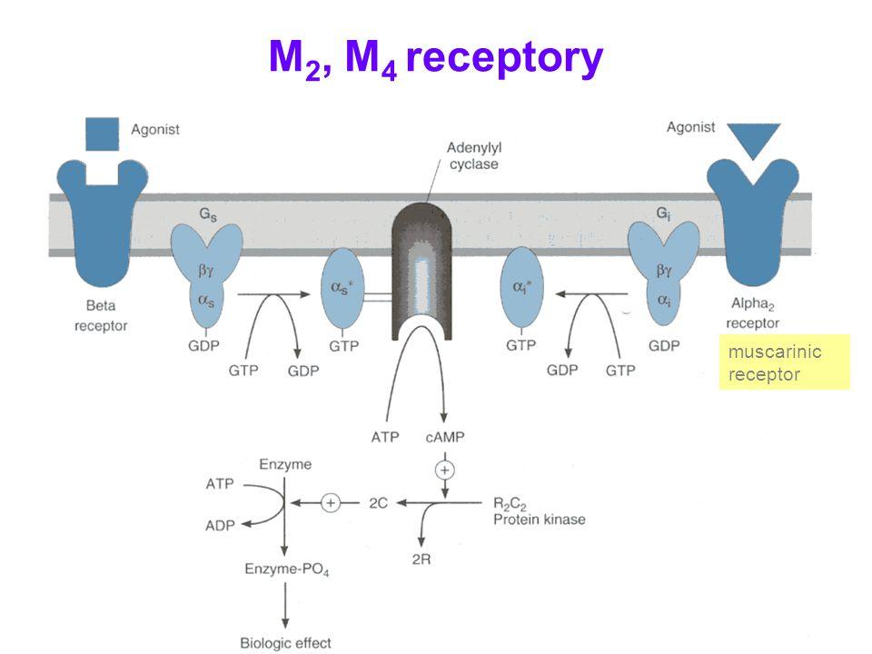 M 2, M 4 receptory muscarinic receptor