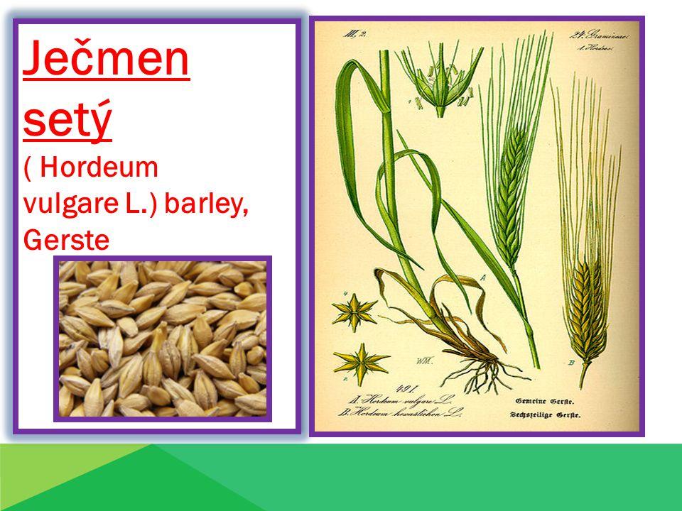 Ječmen setý ( Hordeum vulgare L.) barley, Gerste Ječmen setý ( Hordeum vulgare L.) barley, Gerste