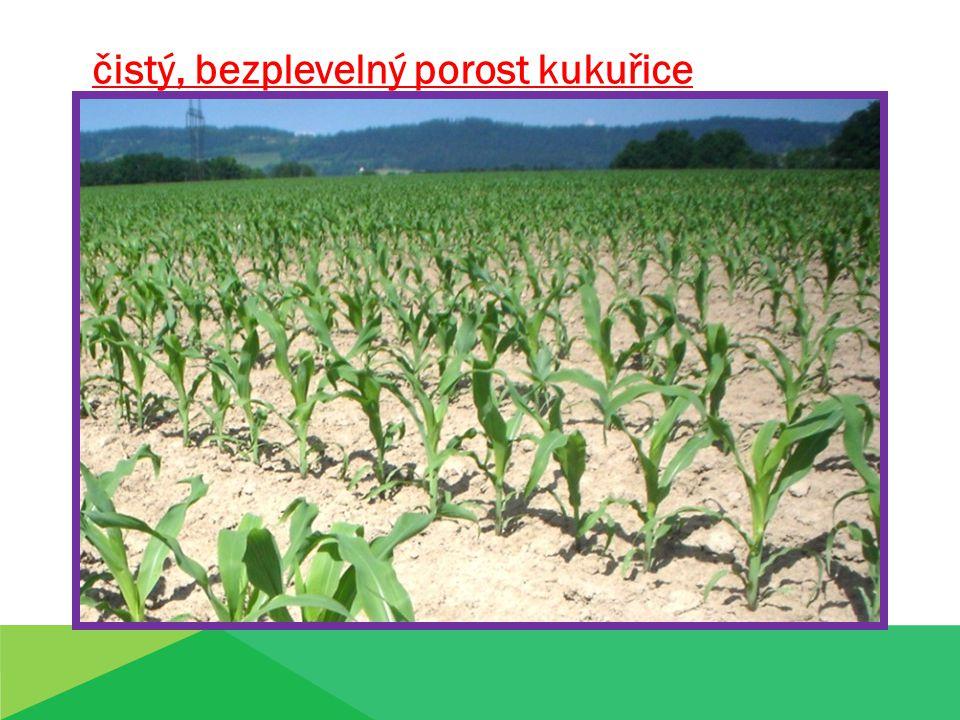 čistý, bezplevelný porost kukuřice
