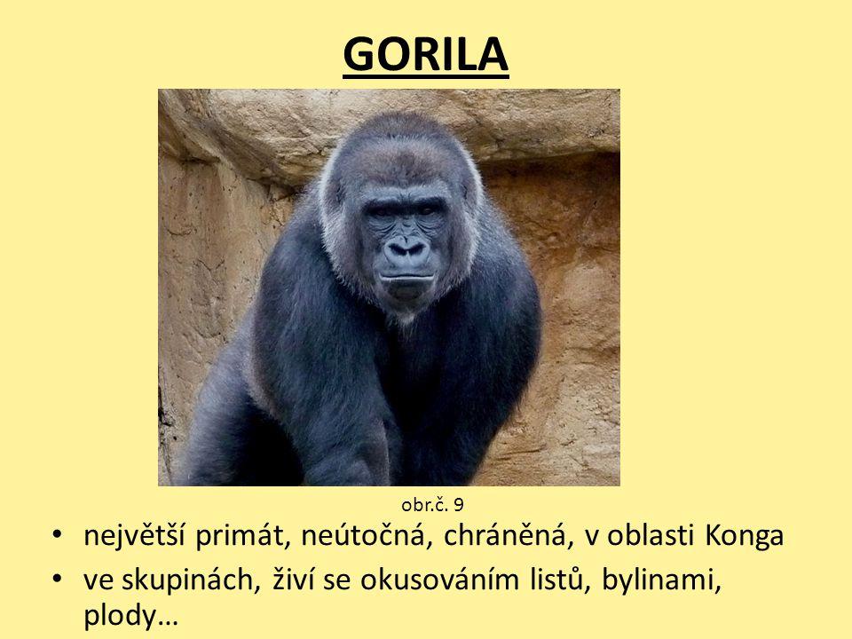 GORILA největší primát, neútočná, chráněná, v oblasti Konga ve skupinách, živí se okusováním listů, bylinami, plody… obr.č. 9