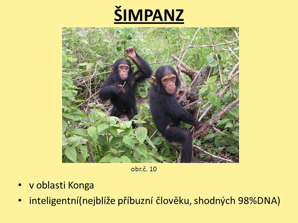 ŠIMPANZ v oblasti Konga inteligentní(nejblíže příbuzní člověku, shodných 98%DNA) obr.č. 10