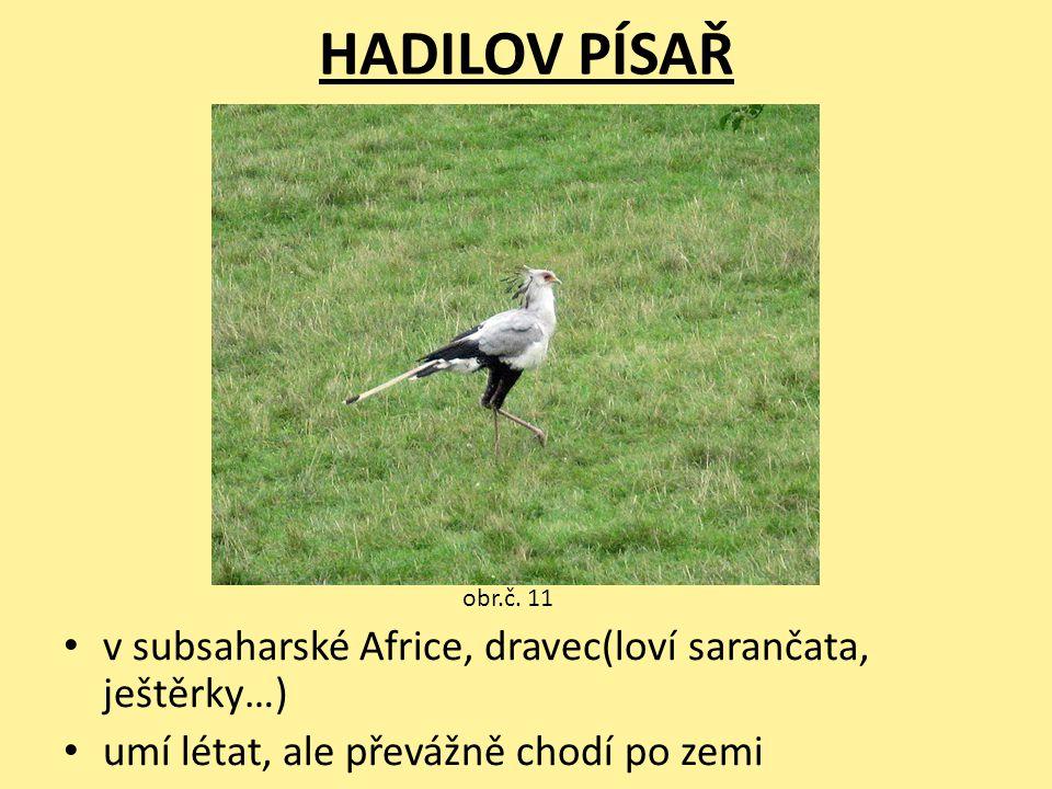 HADILOV PÍSAŘ v subsaharské Africe, dravec(loví sarančata, ještěrky…) umí létat, ale převážně chodí po zemi obr.č. 11