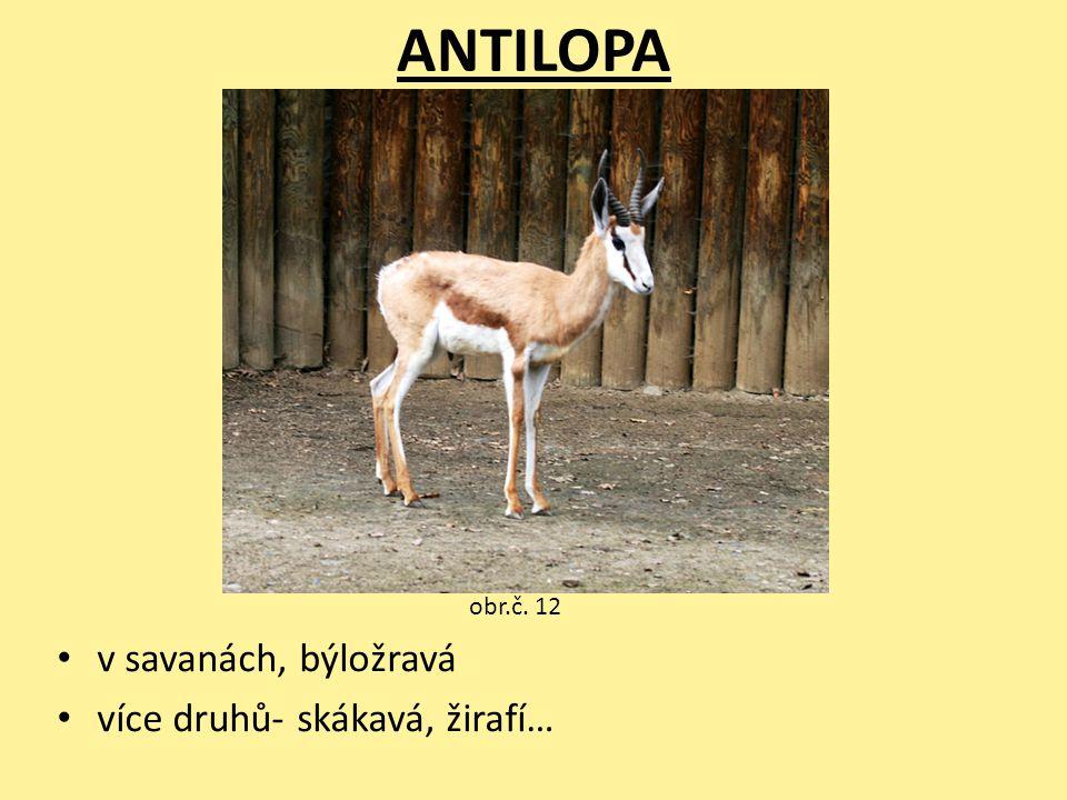 ANTILOPA v savanách, býložravá více druhů- skákavá, žirafí… obr.č. 12