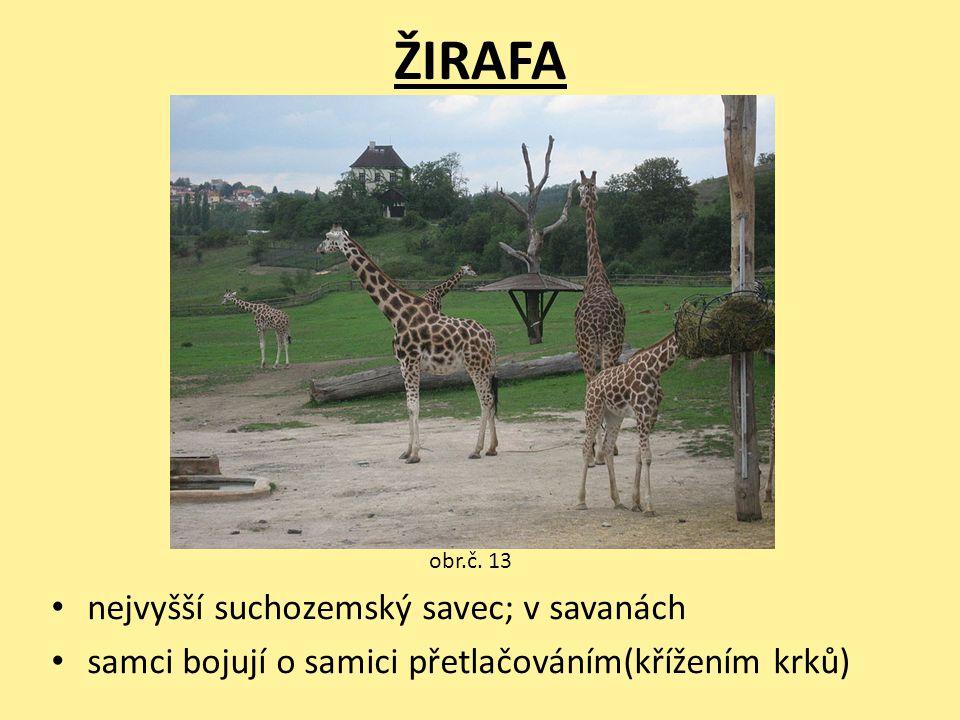 ŽIRAFA nejvyšší suchozemský savec; v savanách samci bojují o samici přetlačováním(křížením krků) obr.č. 13