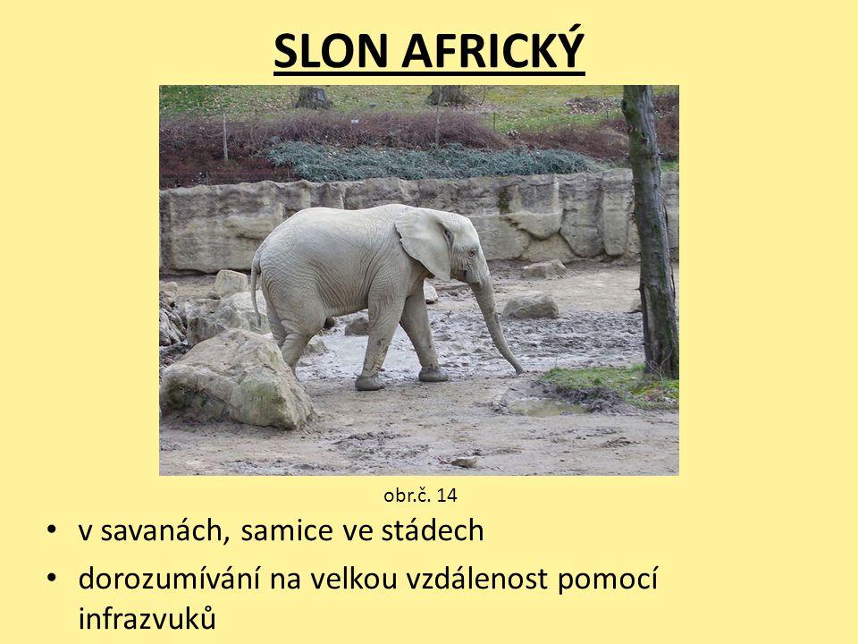 SLON AFRICKÝ v savanách, samice ve stádech dorozumívání na velkou vzdálenost pomocí infrazvuků obr.č. 14