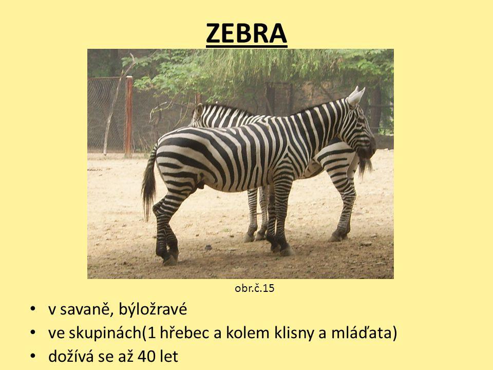 ZEBRA v savaně, býložravé ve skupinách(1 hřebec a kolem klisny a mláďata) dožívá se až 40 let obr.č.15