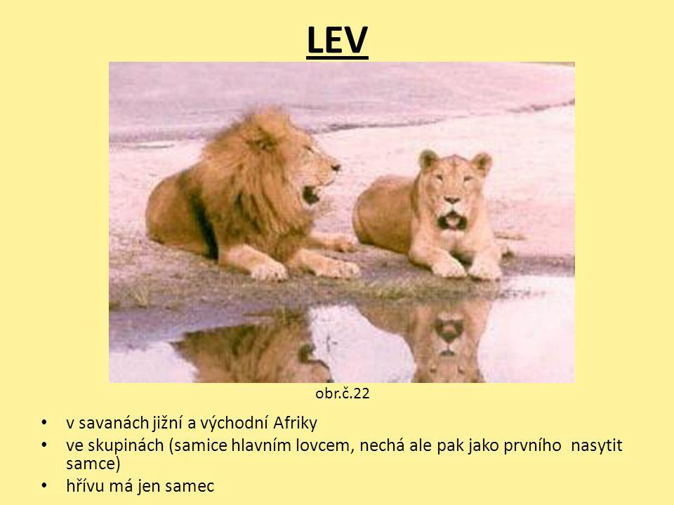 LEV v savanách jižní a východní Afriky ve skupinách (samice hlavním lovcem, nechá ale pak jako prvního nasytit samce) hřívu má jen samec obr.č.22