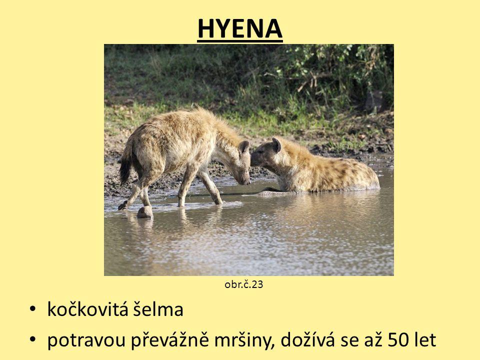 HYENA kočkovitá šelma potravou převážně mršiny, dožívá se až 50 let obr.č.23