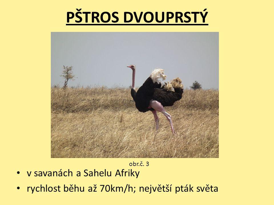 PŠTROS DVOUPRSTÝ v savanách a Sahelu Afriky rychlost běhu až 70km/h; největší pták světa obr.č. 3
