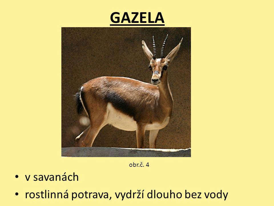 GAZELA v savanách rostlinná potrava, vydrží dlouho bez vody obr.č. 4