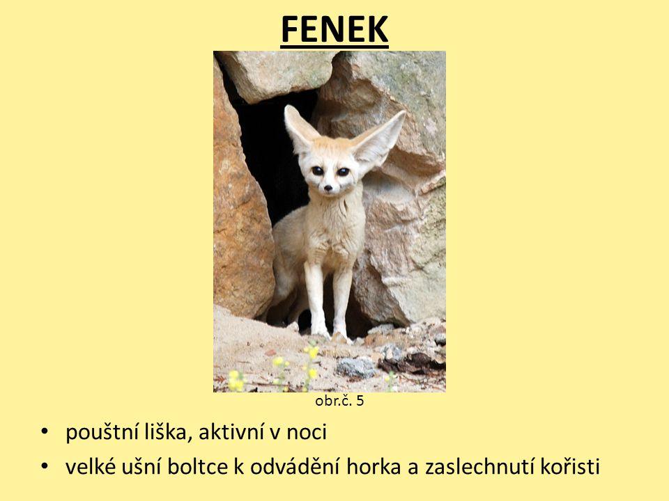 FENEK pouštní liška, aktivní v noci velké ušní boltce k odvádění horka a zaslechnutí kořisti obr.č. 5