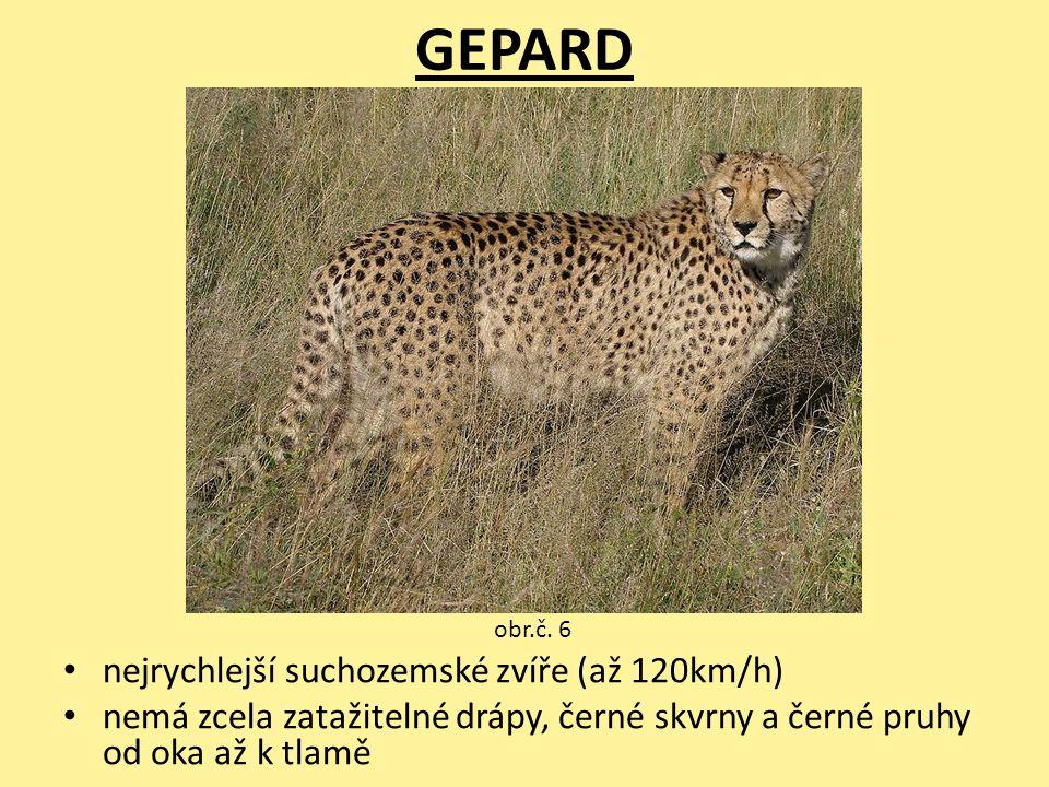 GEPARD nejrychlejší suchozemské zvíře (až 120km/h) nemá zcela zatažitelné drápy, černé skvrny a černé pruhy od oka až k tlamě obr.č. 6