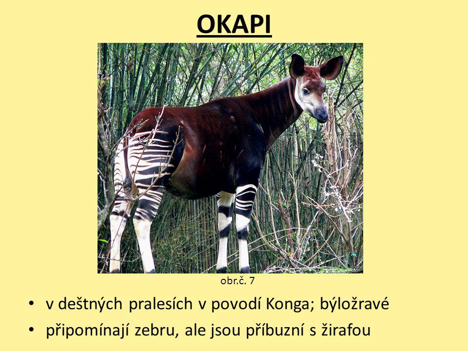 OKAPI v deštných pralesích v povodí Konga; býložravé připomínají zebru, ale jsou příbuzní s žirafou obr.č. 7
