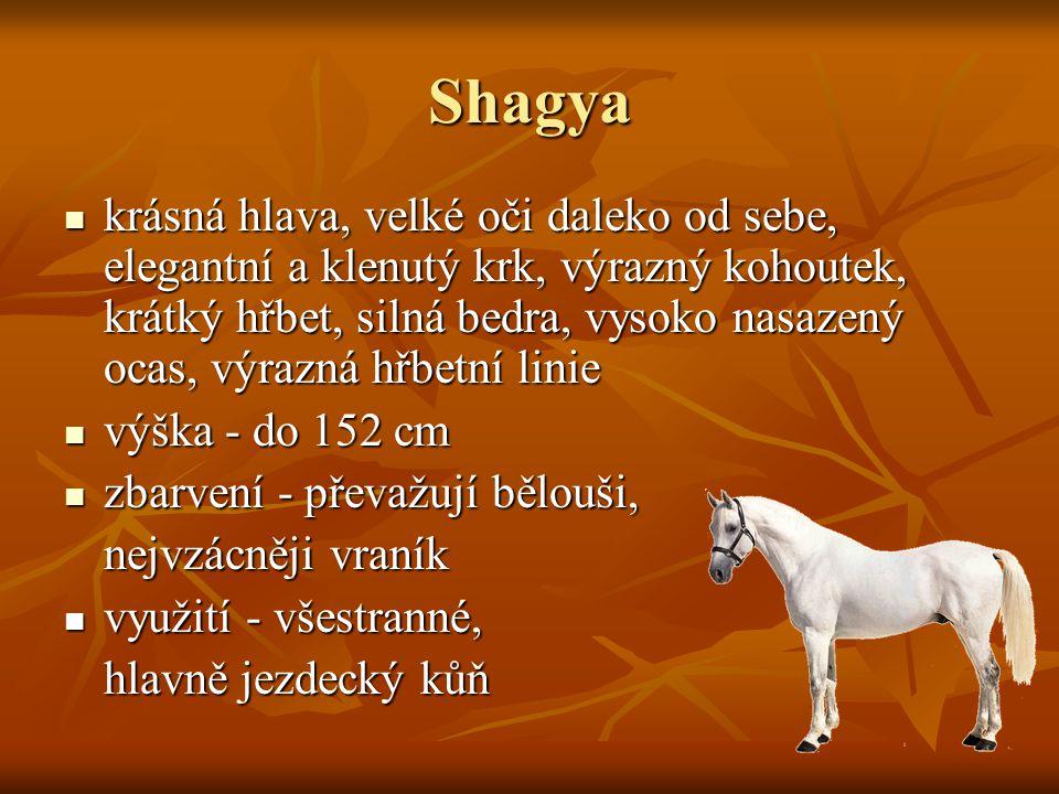 Shagya krásná hlava, velké oči daleko od sebe, elegantní a klenutý krk, výrazný kohoutek, krátký hřbet, silná bedra, vysoko nasazený ocas, výrazná hřb